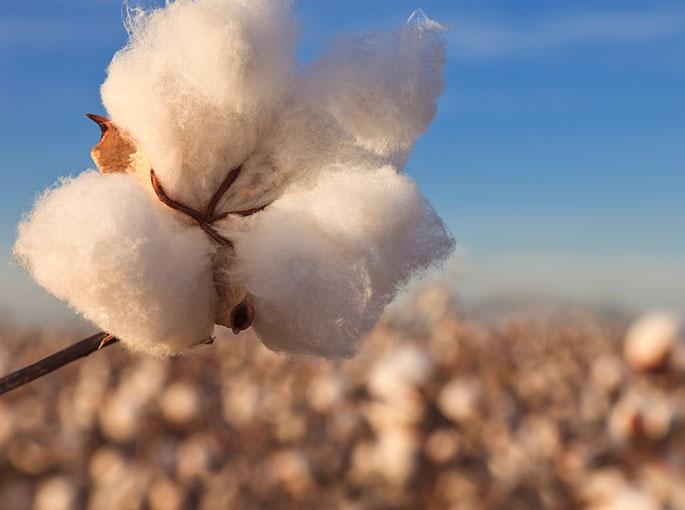 Cotton is a natural fiber