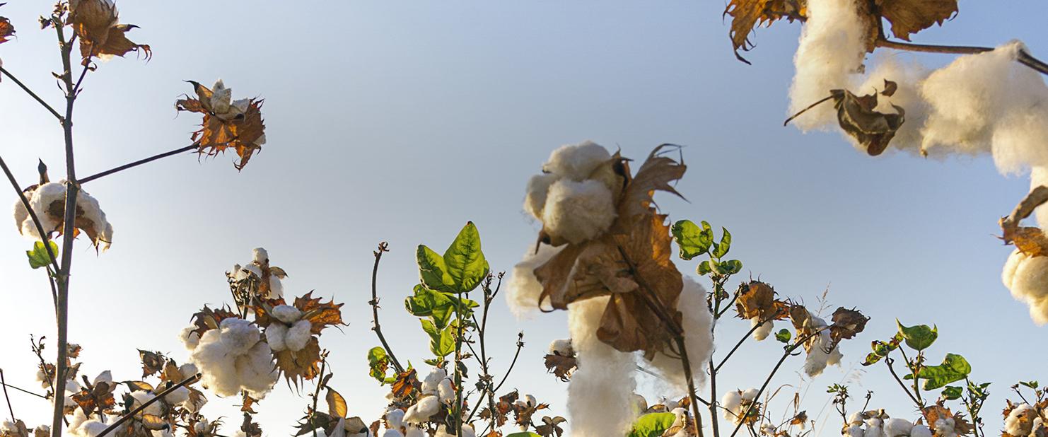 discover cotton header